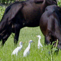 White Cattle Egret