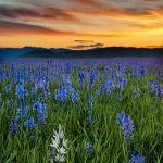 Sunrise on the Camas Prairie